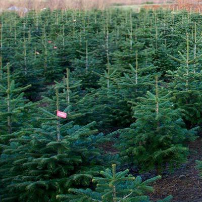 Fæld selv juletræer i Halsnæs